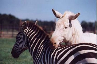 Animales albinos : Cebras