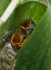 Tailorbird, starts from an egg