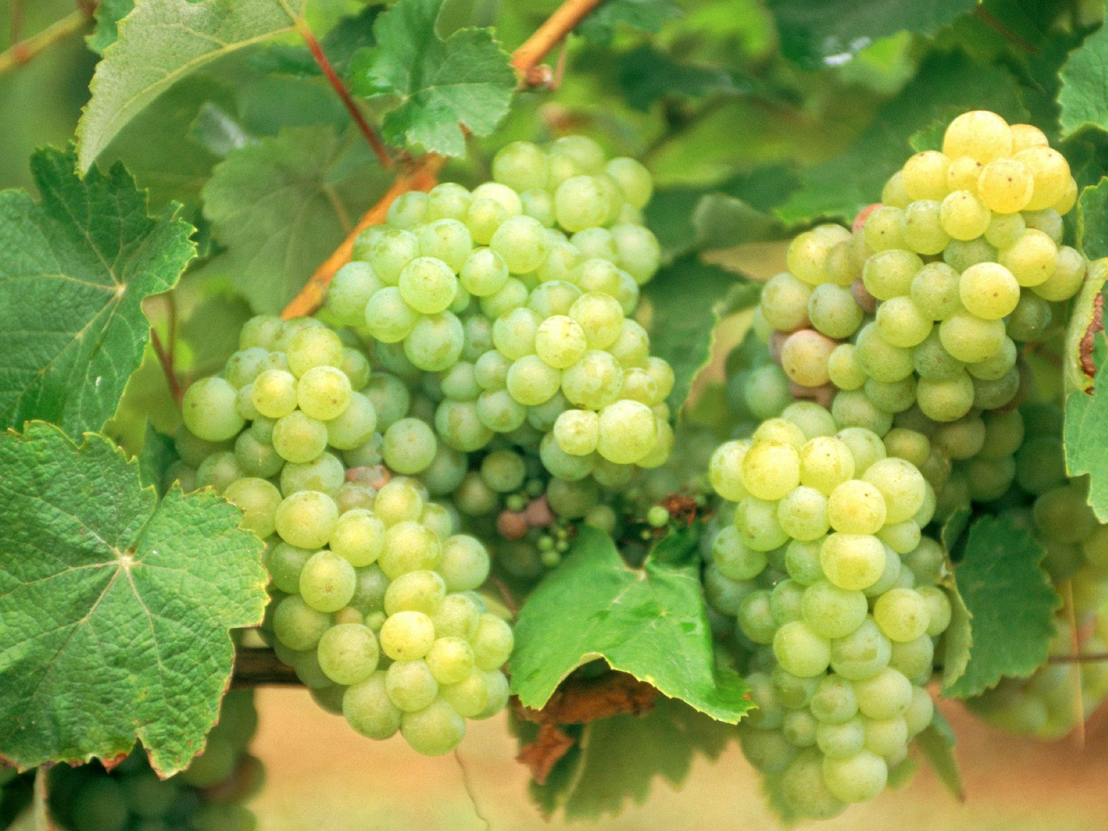 Wallpapers Box: Grapes Harvest Fall HD Wallpapers