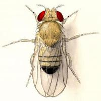 Resultado de imagen de drosophila melanogaster dibujo