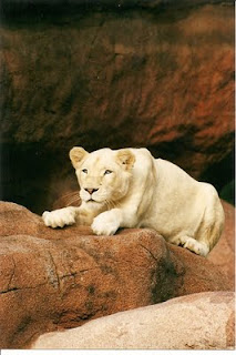 All white lions in captivity descend from same cat