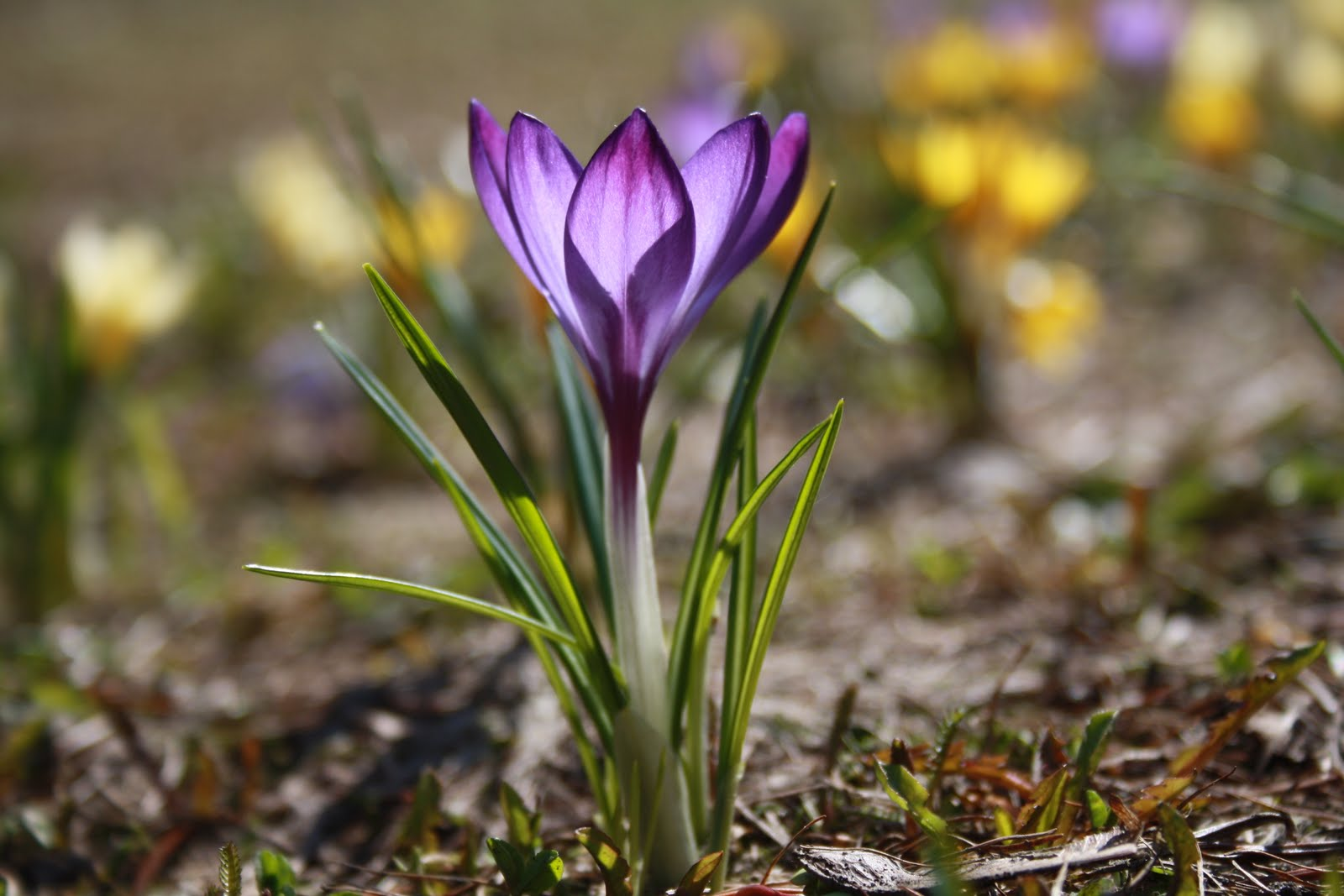 Fotoblogi: First Spring Flowers
