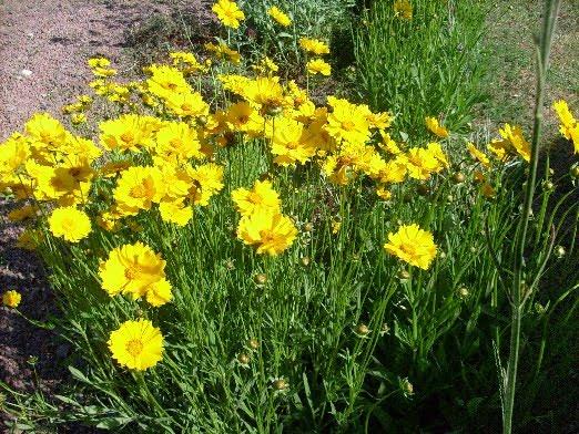 Ma Planete Jardin Le Coreropsis Quatre Mois De Fleurs Sans Entretien