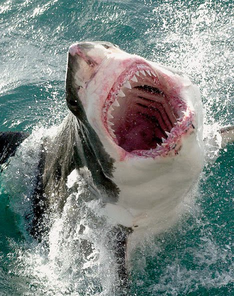 Gran Tiburón Blanco (Carcharodón Carcharias)
