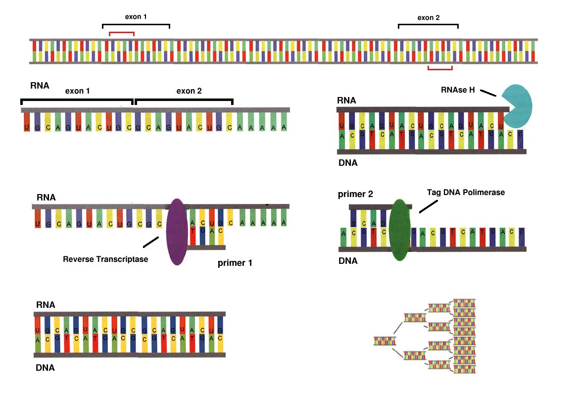 Polymerase Chain Reaction Diagram Super Beetle Wiring Dna Chromatin Elsavadorla
