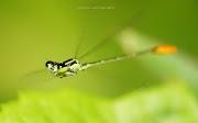 Koleksi Pilihan gambar Serangga sedang Terbang oleh Neezhom