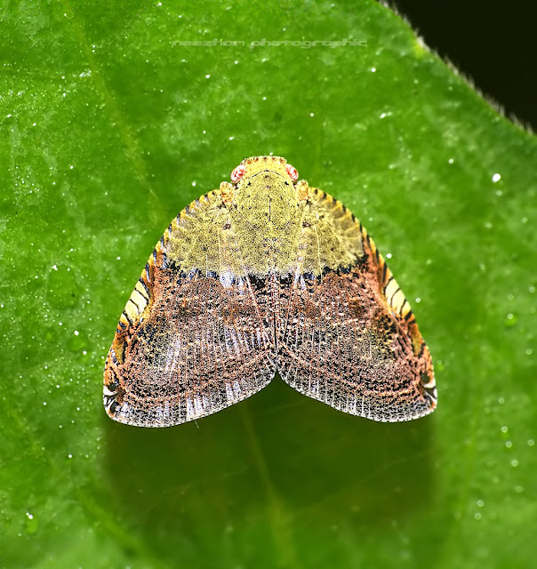 Yellow cream brown green Planthopper