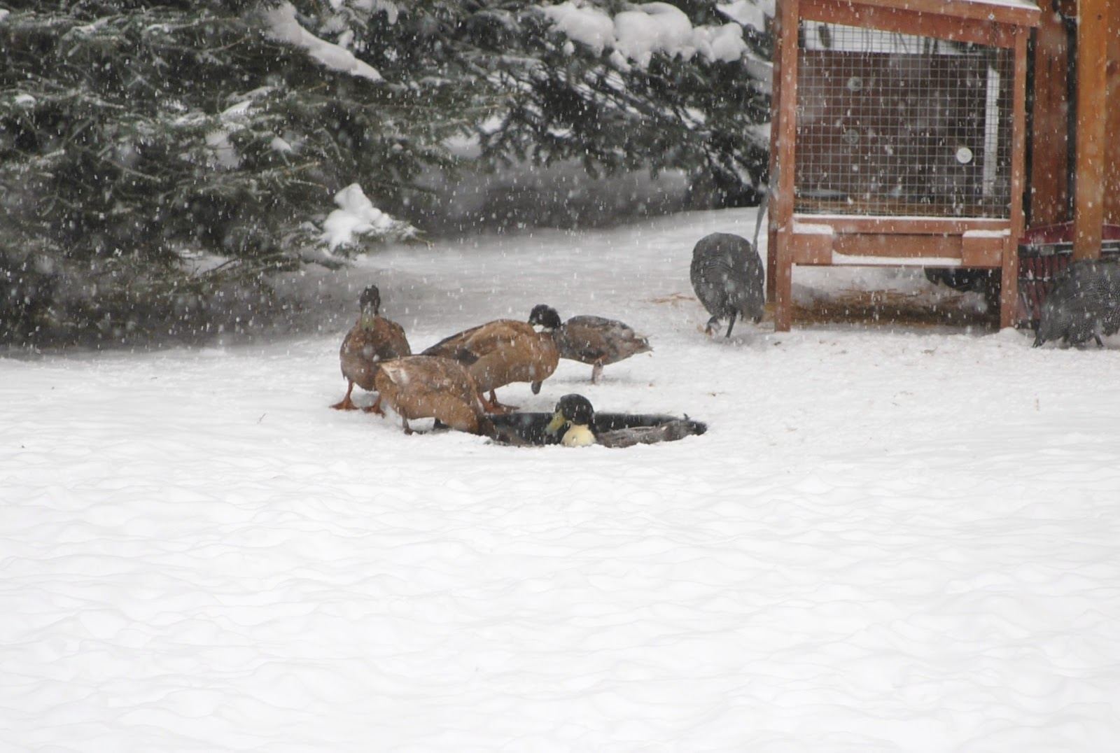 December 2010 Murano Chicken Farm