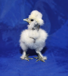 showgirl chick hatched in incubator