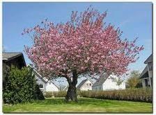 japanske kirsebær træ