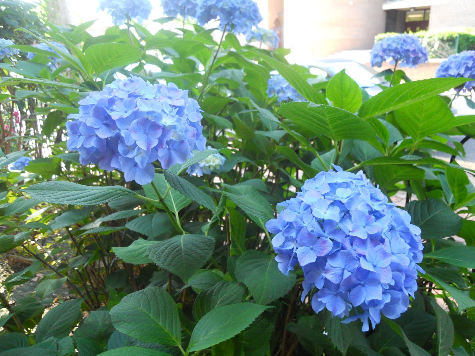 Isn T The Color Of Her Flowers What Any Gardener Dreams Are Perfect Shade Blue And Not A Hint Pink Or Purple
