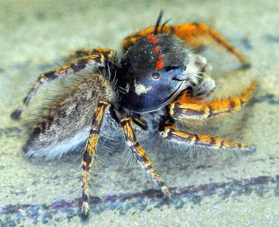 Colorful jumping spider - photo#47