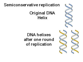 Sutton's AP Biology: Intro to DNA Replication