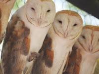 hidden experience: more owl weirdness