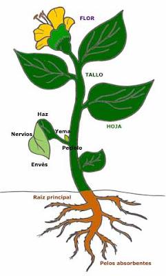Las plantas las partes de la planta for Cuales son las partes de un arbol