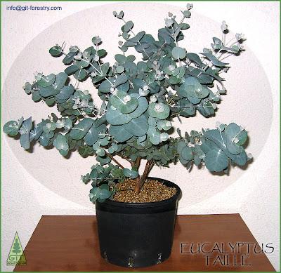 Eucalyptus Taillè: Sculpted Plants For Regular Pruning, A Rewarding Way To  Grow Australian Trees