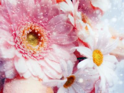 margaritas-rosas-y-blancas