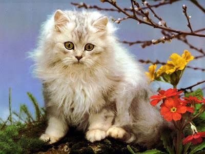 gatito-persa
