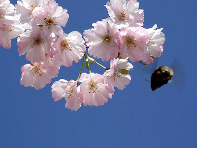 In Terms of Colour Animated pink Cherry Blossoms - cherry blossom animated
