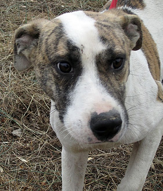 Catahoula Boxer Mix Temperament | Olivero