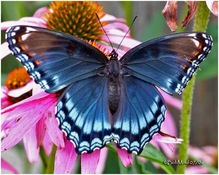ogut267 kupukupu cantik di dunia