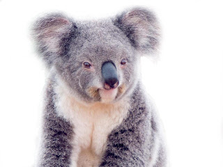Image result for sad koala