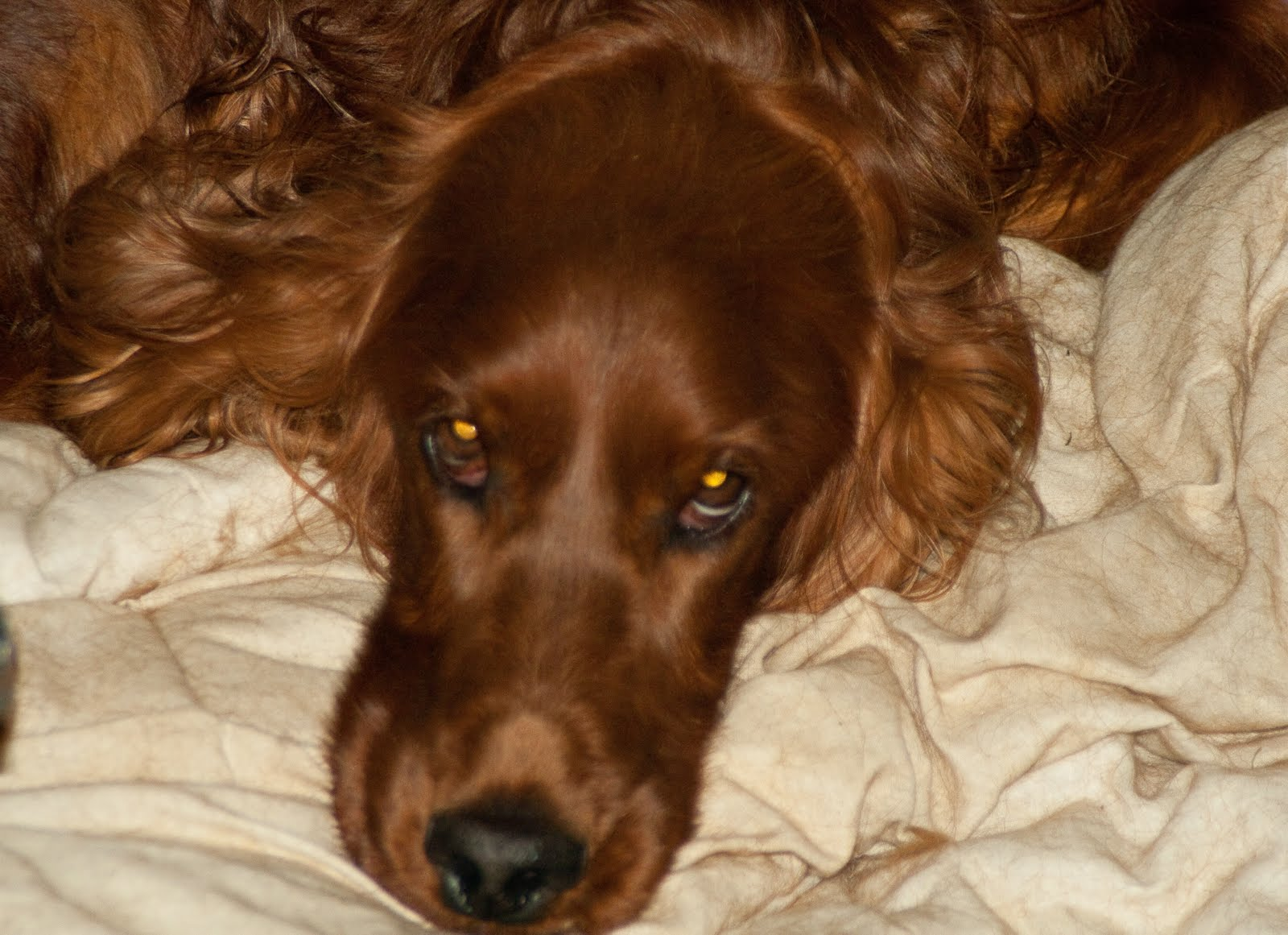 brown dog with long hair