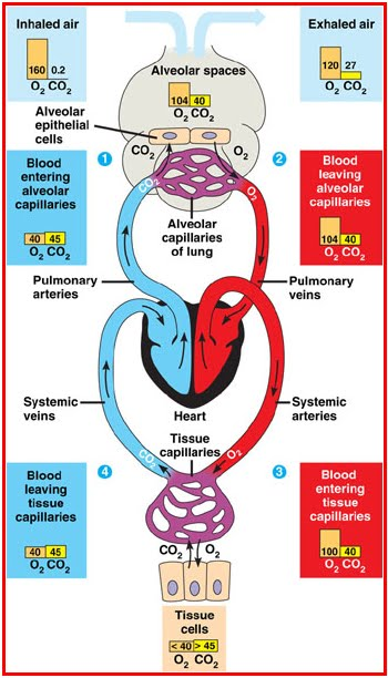Peredaran Darah Getah Bening : peredaran, darah, getah, bening, Smarter, PEREDARAN, DARAH, KARDIOVASKULAR
