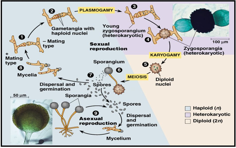 Siklus reproduksi aseksual zygomycota asexual reproduction