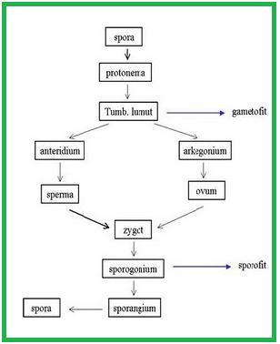 Biologi gonzaga pada proses tumbuhan lumut ia memiliki sifat ccuart Images