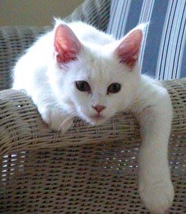 Bukan Doktor Veterinar Kewajaran Mandulkan Kucing