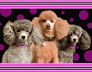 Florida Rescued Dogs: Florida Poodle Rescue