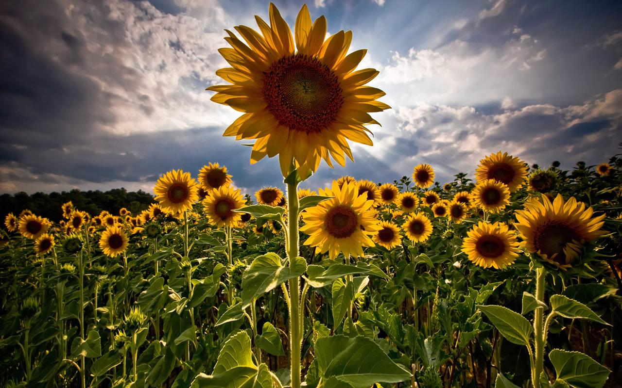 Gorgeous Fall Wallpaper Sunny Sunflowers