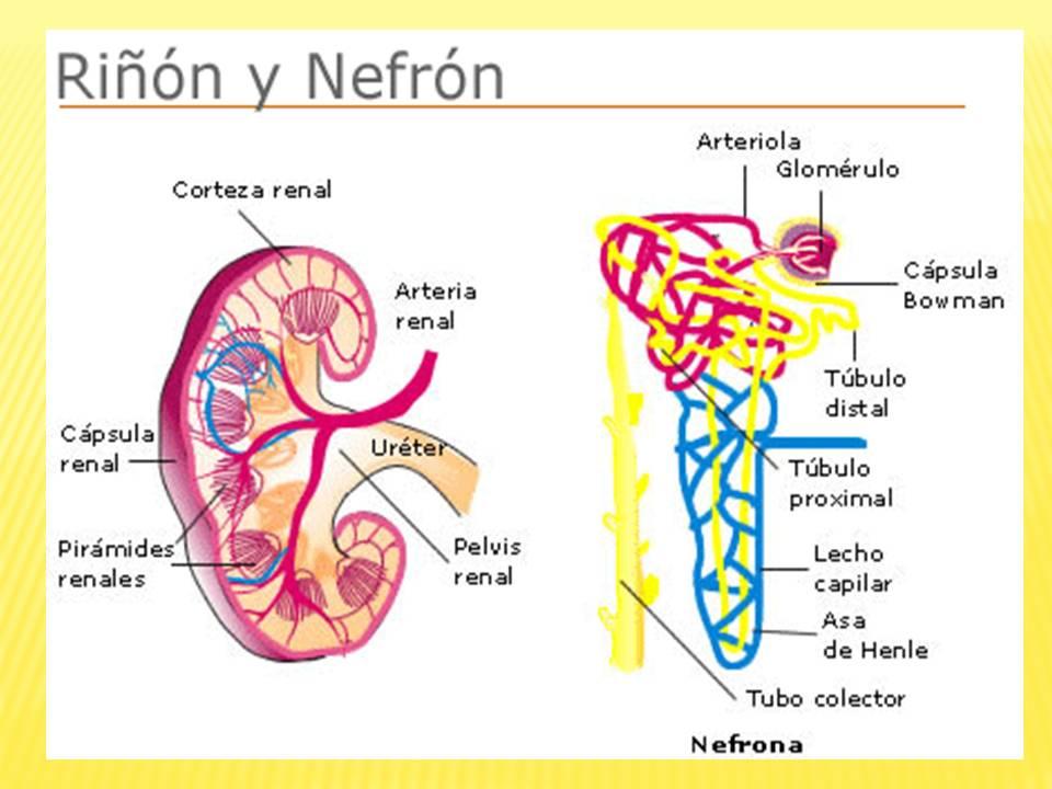 Anatomia Y Fisiologia Del Aparato Urinario Pdf - Harris Industries