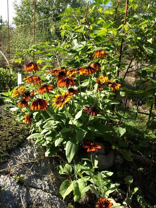 växter mot myror