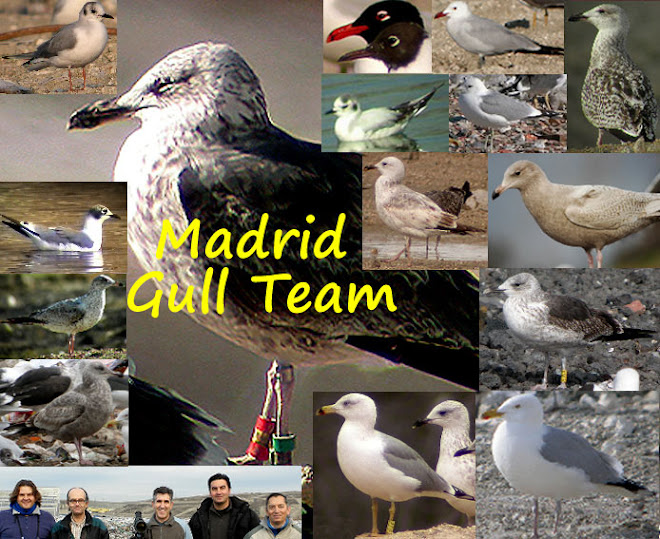 Madrid Gull Team