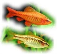 Ryba akwariowa Brzanka Wysmukła