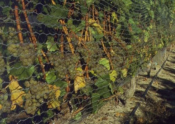 GLCreasy: Recycling vineyard wastes