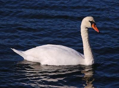 Busty maria pl swan