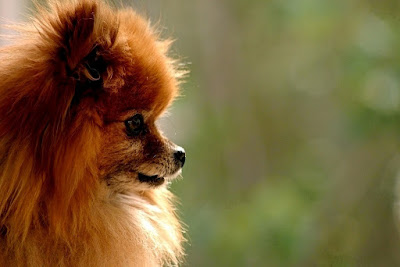 Pomeranian Dog Breed Information, Pomeranian Dogs Breed, Pomeranian Dog Breeds, pomeranian breed, dog breeds information, Dog Breed Profiles, pomeranians, small breed, small dog breed, Pomeranian Dog Breed Information, Pomeranian Dogs Breed, Pomeranian Dog Breeds, pomeranian breed, dog breeds information, Dog Breed Profiles, pomeranians, small breed, small dog breed