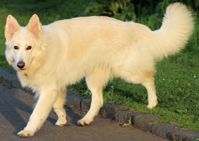 White German Shepherd Dog, White German Shepherd Dogs, White coated German Shepherd Dog, White GSD