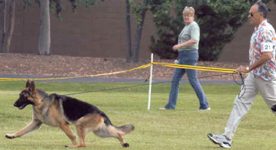 german shepherd dog show perfect german shepherd dog