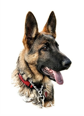 genetic traits in german shepherd dog breed
