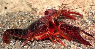Resultado de imagen de cangrejo rojo