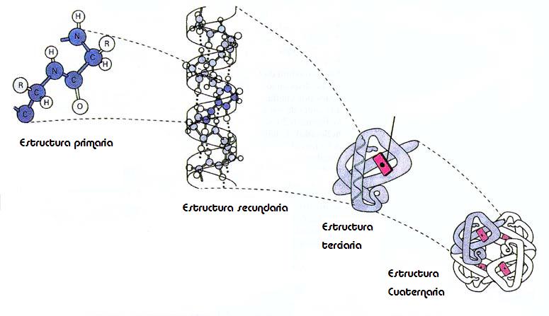 Quimicas Biologas Estructura Primaria Secundaria