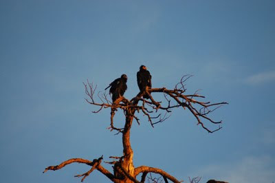 California condors in tree