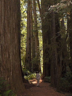 Feeling small below the towering Redwoods Redwood National Park California