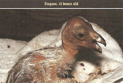 California Condor chick National Park Service archive