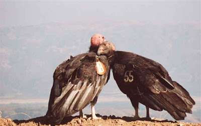 California Condors snuggling National Park Service archive