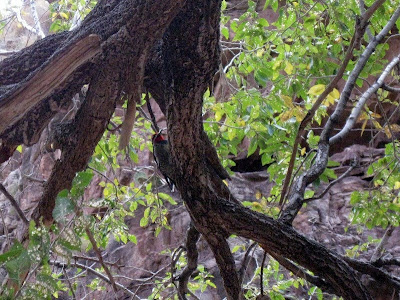 Yellow-bellied Sapsucker North Kaibab trail Grand Canyon National Park Arizona